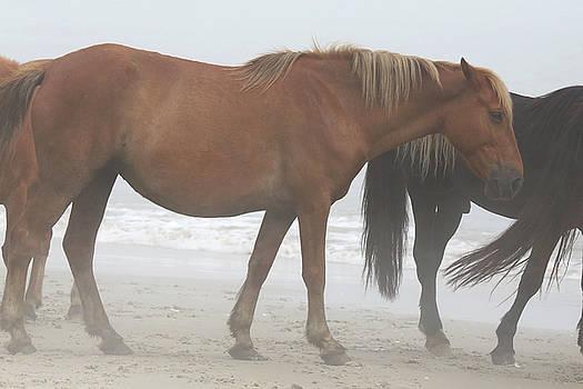 Wild Horses At Corolla, NC 3 by David Stasiak