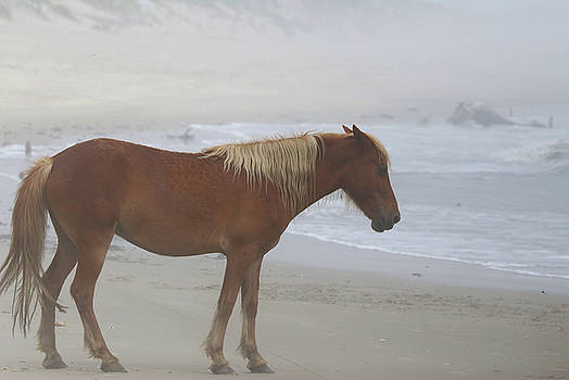 Wild Horses At Corolla, NC 4 by David Stasiak