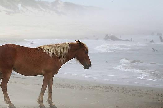 Wild Horses At Corolla, NC 5 by David Stasiak