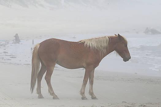 Wild Horses At Corolla, NC 6 by David Stasiak