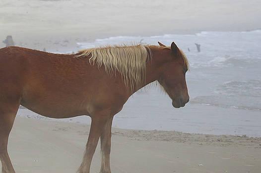 Wild Horses At Corolla, NC 8 by David Stasiak