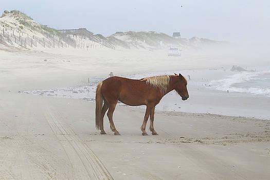 Wild Horses At Corolla, NC 9 by David Stasiak