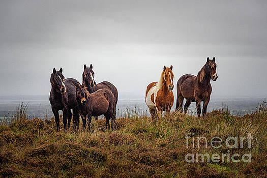 Wild horses in Ireland by Juergen Klust