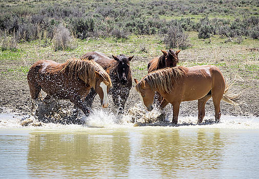 Wild Mustang Stallions Playing in the Water - Sand Wash Basin by Nadja Rider