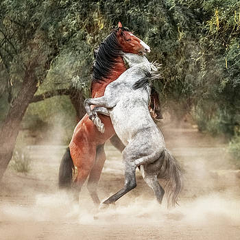 Wild Horses Rearing Up Play Fighting by Susan Schmitz