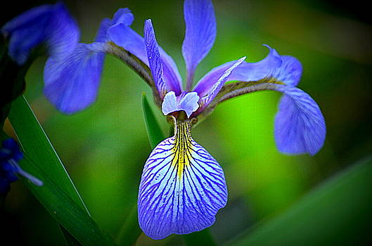 Wild Iris Beauty by Jaunine Roberts