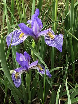 Wild Iris by Carol Milisen