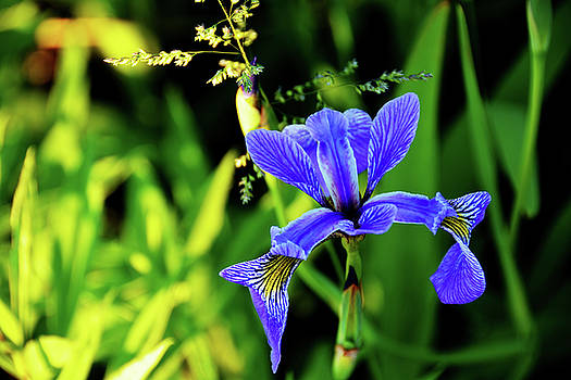 Wild Iris by Tim Stringer