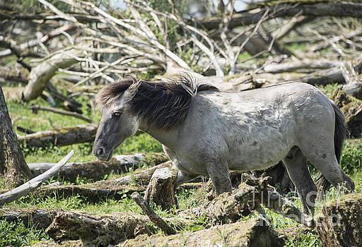 Compuinfoto   - wild konink horse in dutch landscape