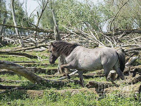 Compuinfoto   - wild konink horses in dutch landscape