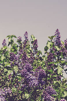 Wild Lilacs by Olivia StClaire