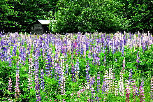 Field of Lupine by Jaunine Roberts