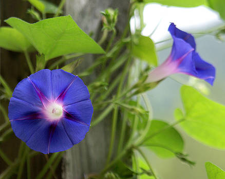 Wild Morning Glories  by D Winston