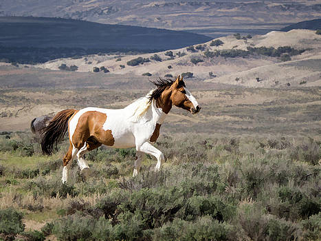Wild Mustang Stallion on the move in sand wash basin by Nadja Rider