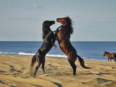 Wild Mustangs Battling On The Beach by Matt Taylor