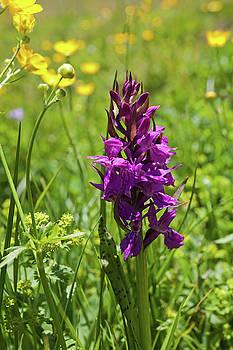 Aivar Mikko - Wild Orchid