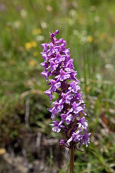 Aivar Mikko - Wild Orchid from Hohenweg Hohbalmen Trek