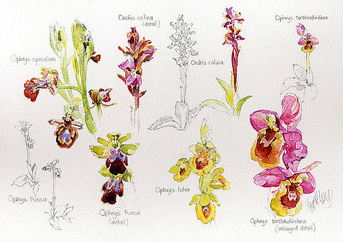 Wild Orchids Of Andalucia by Margaret Merry