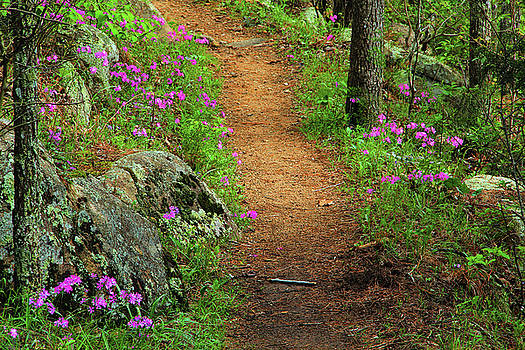 Wild Phlox Along the Trail 1 by Greg Matchick