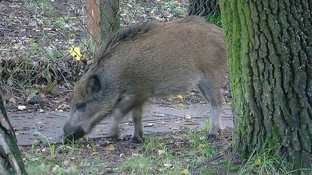 Wild pig by Maria Woithofer