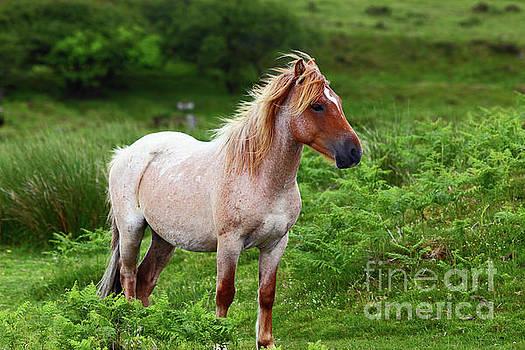 James Brunker - Wild Pony on Bodmin Moor