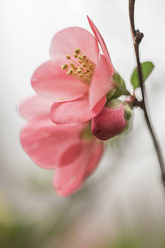 Wild Quince In Smoky Mountains by Carol Mellema