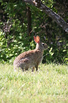 Wild Rabbit by Wendy Coulson