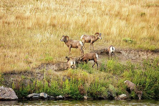 Wild Rams Montana by Michael Gallitelli