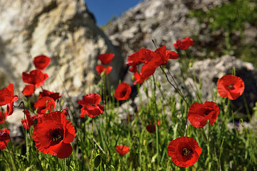 Reimar Gaertner - Wild red Poppies at a rock outcrop in farm field above Puerto Lo