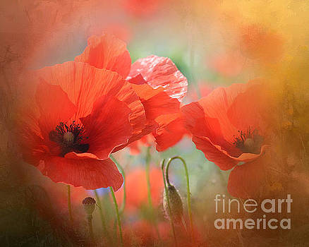 Wild Red Poppies In Focus by Clive Littin