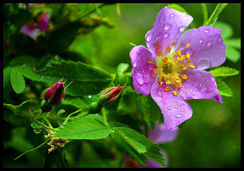 Wild Rose After Summer Rain by Susanne Still