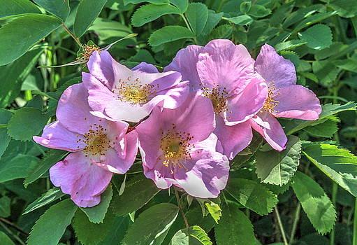 Wild Rose Cluster by Jim Sauchyn