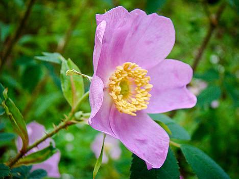 Dora Miller - Wild Rose