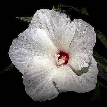 Wild Rose Of Sharon by Mary Nash-Pyott