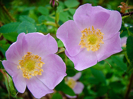 Dora Miller - Wild Rose Sisters