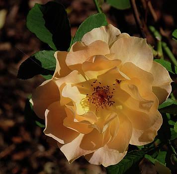 Wild Rose yellow by Ronda Ryan