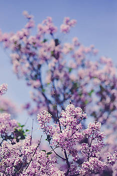 Wild Spring Lilacs by Olivia StClaire