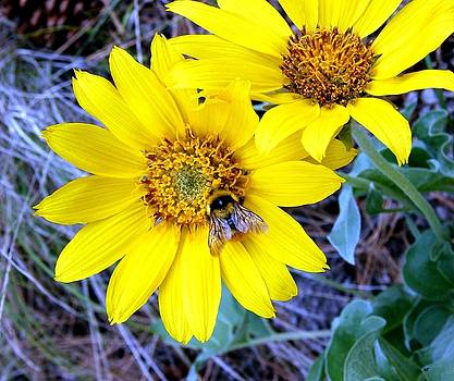 Wild Sunflowers And Bee by Will Borden