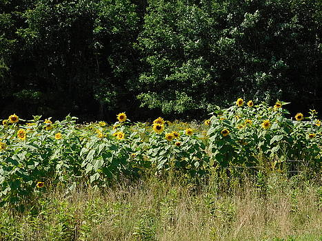 Wild Sunflowers by Catherine Gagne