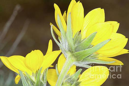 Wild Sunflowers by Diana McPherson