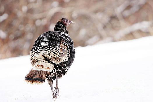 Wild Turkey Hen by Alyce Taylor