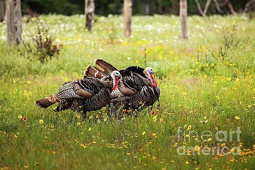 Wild Turkey's Dance by Iris Greenwell