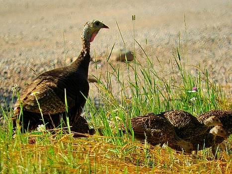 Wild Turkeys Female and Chicks Michigan by Mikel Classen