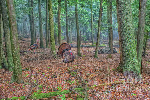 Randy Steele - Wild Turkeys in Forest