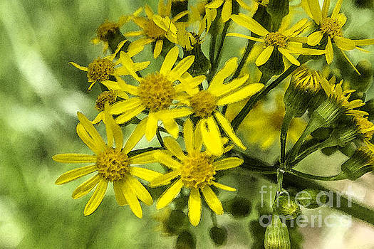 Wild Yellow Daisies by Gregory Schultz