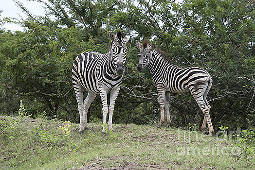 Compuinfoto  - wild zebra in kruger national park
