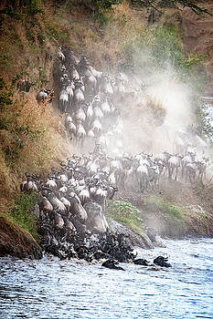 Wildebeest Climbing Up Mara River Bank by Susan Schmitz