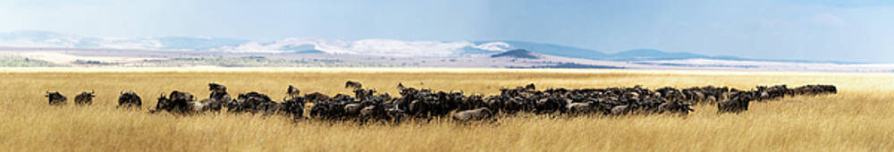 Wildebeest Herd in Tall Kenya Grass Panorama by Susan Schmitz
