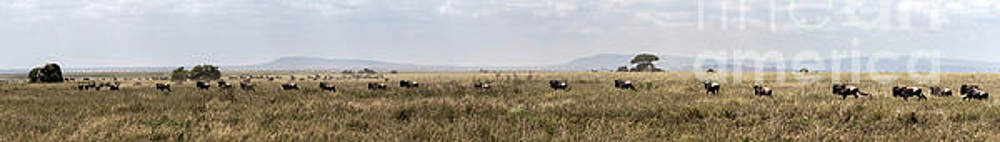 RicardMN Photography - Wildebeest in Serengueti during the Great Migration - Large panorama