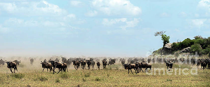RicardMN Photography - Wildebeest in Serengueti during the Great Migration - Panorama